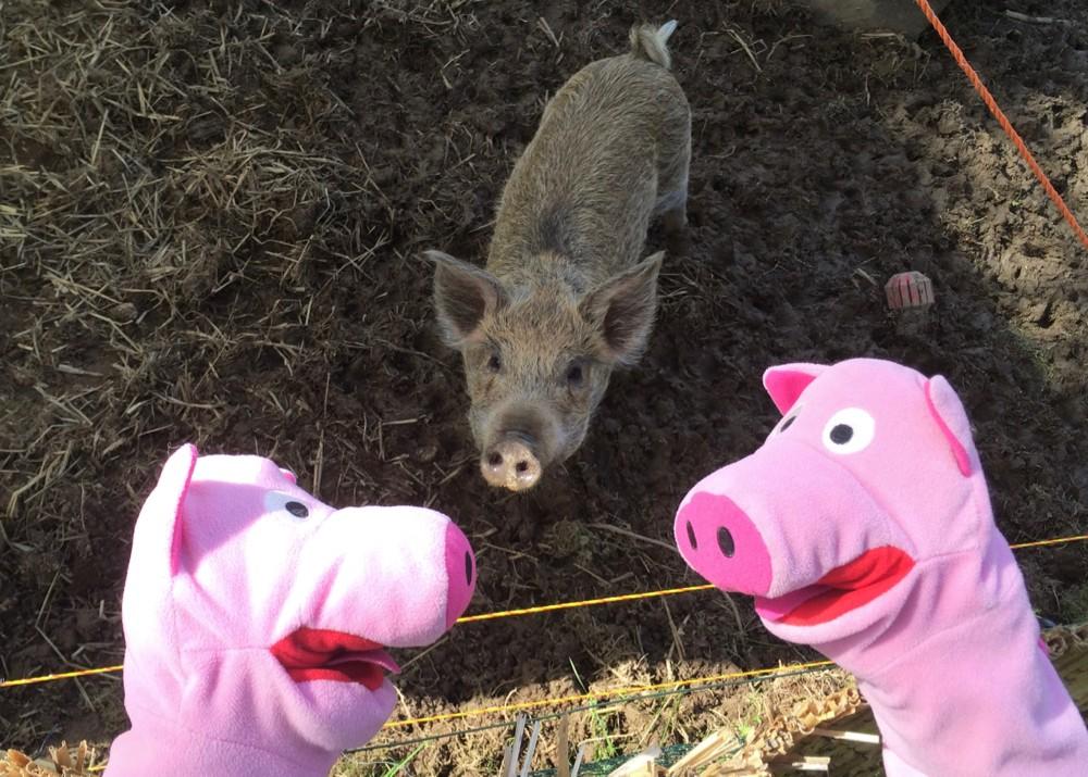 Die Schweine haben immer Hunger. Dauernd könnten sie was essen.
